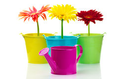 Gerberas in buckets Royalty Free Stock Images