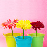 Gerberas in buckets Royalty Free Stock Photography