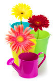 Gerberas in buckets Stock Photos