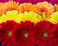 Gerberas Royalty Free Stock Photos