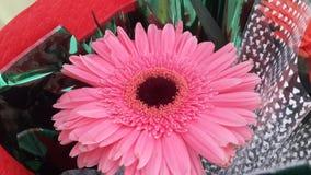 Gerberas cor-de-rosa Imagens de Stock