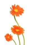 Gerberas de bouquet Images libres de droits