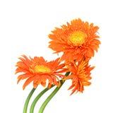 Gerberas de bouquet Photo stock