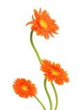 Gerberas de bouquet Image libre de droits