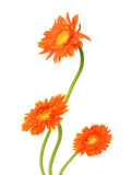 Gerberas de bouquet Photos stock