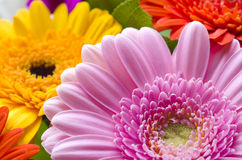 Gerberas Flowers Stock Photos