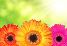 Gerberas flowers Royalty Free Stock Photography