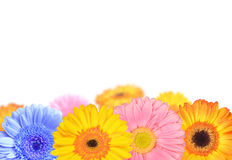 Gerberas flowers Stock Photos