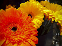 Gerberas flowers. Orange and yellow gerberas flowers royalty free stock images