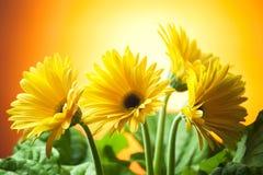 Gerberas gialli Fotografie Stock