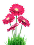 Gerberas in grass Royalty Free Stock Photo