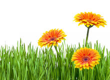Gerberas and green grass isolated on white Royalty Free Stock Photography
