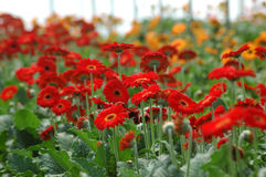 Gerberas in hothouse. Rows of gerberas growing in commercial hothouse stock photos