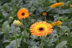 Gerberas i trädgård Arkivbilder