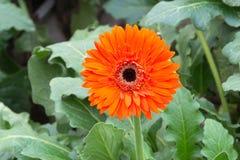 Gerberas i trädgård Royaltyfria Foton