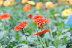 Gerberas i trädgård Royaltyfri Foto