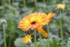 Gerberas i trädgård Royaltyfri Bild