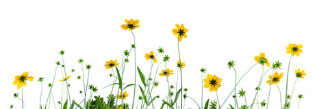 Gerberas Isolated On White Background