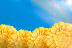 Gerberas jaunes Photo stock