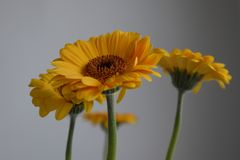Gerberas jaunes sur le fond gris Images stock
