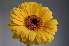 Gerberas jaunes sur le fond gris Image libre de droits