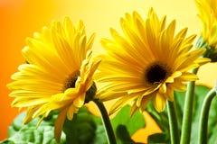 gerberas kolor żółty dwa Zdjęcie Stock