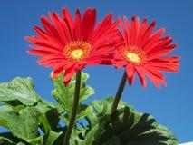 Gerberas lindo Foto de Stock