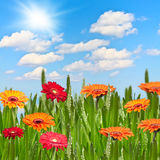 Gerberas in a meadow on a sunny day Stock Photos