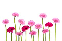 Gerberas Pink gerberas on a white background royalty free stock image