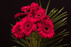 Gerberas. Red gerberas on black background, closeup image with details Stock Photo