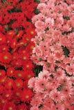 Gerberas rojo y rosado Imagen de archivo libre de regalías