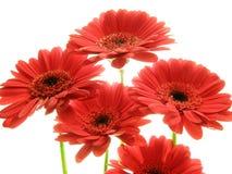 Gerberas rojos Imagenes de archivo