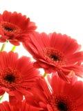 Gerberas rojos Fotos de archivo libres de regalías