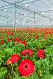 Gerberas rojos florecientes en un invernadero holandés Foto de archivo libre de regalías