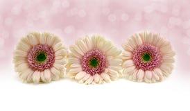 Gerberas rosados. Foto de archivo