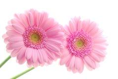 Gerberas rosados Fotografía de archivo libre de regalías