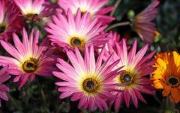 Gerberas rosados apenas que fluyen Imagen de archivo
