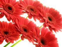 Gerberas rouges Photo libre de droits