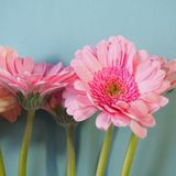 Gerberas Royalty Free Stock Photography