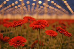 Gerberas under growthlight in modern dutch greenhouse. Royalty Free Stock Photography