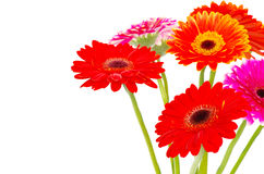 Gerberas on white Royalty Free Stock Images