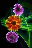 Gerberassering, gerbera oranje en groene lijnen van licht op een zwarte achtergrond royalty-vrije stock afbeeldingen
