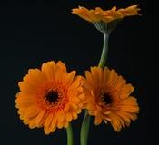 Gerbere arancio Immagini Stock Libere da Diritti