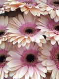 Gerbere del ramo Foto de archivo libre de regalías