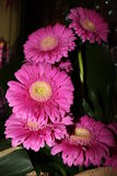 Gerbere. The name of flower is gerbera, a beauteful pink flower royalty free stock images