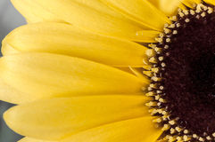 Gerberra. Close up Macro shot of yellow gerberra royalty free stock photos