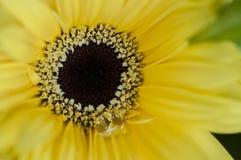 Gerberra. Close up Macro shot of yellow gerberra stock photography