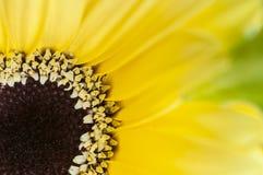 Gerberra. Close up Macro shot of yellow gerberra royalty free stock image