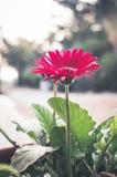 Gerbers â Solarblumen, Eilvergnügen und Liebe zu einer Lebensdauer Stockfotos