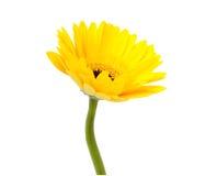 Gerbers â Solarblumen, Eilvergnügen und Liebe zu einer Lebensdauer Lizenzfreie Stockbilder